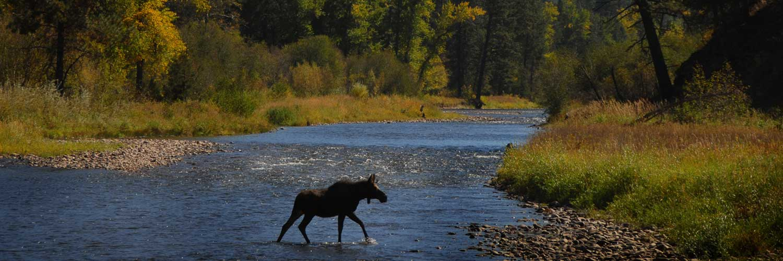 Moose Crossing Rock Creek near Siria Campground