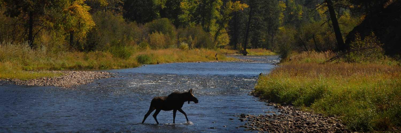Moose Crossing Rock Creek in Montana