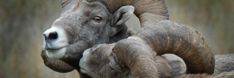 Bighorn Rams in Rut in November on Rock Creek