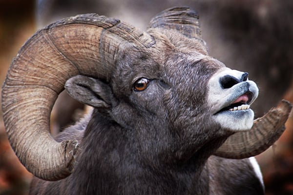 Bighorn Ram in Rut on Rock Creek