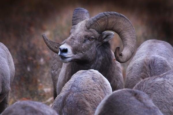 Single Bighorn Ram with Ewes